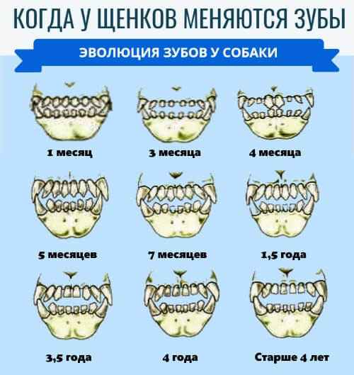 Методики определения возраста любой собаки по количеству зубов и внешности