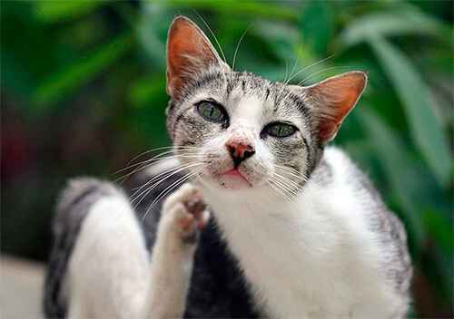 Выведение блох у котят дома: как убрать паразитов если питомцу пару месяцев