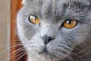 Все о герпесе у кошки: симптоматика и способы лечения герпевируса