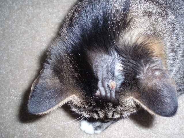 Все о власоедах у котов: симптоматика и чем можно быстро вылечить