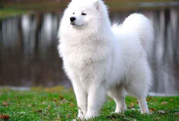 Обзор самых пушистых собак: внешность и характеристика лохматых пород