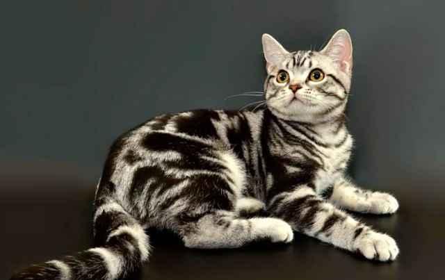 Кошки короткошерстные американские: описание породы, характер, особенности ухода