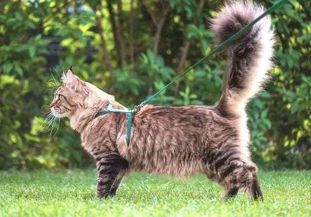 Называем кошек мейн-кунов: имена для мальчиков и девочек, красвые клички