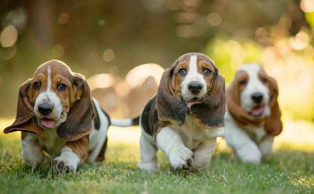 По каким параметрам и как правильно выбирать породу собак для себя