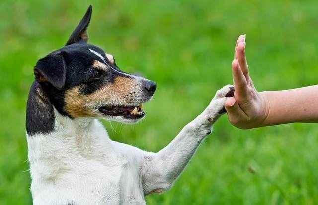 Порядок обучения собаки команде дай лапу: дрессировка навыка у щенков
