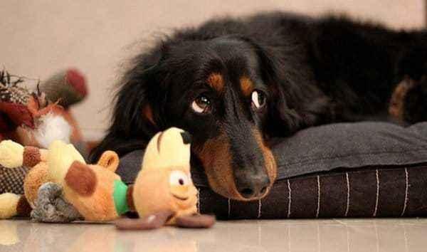 Почему собака стала вялой: причины отказа от еды и постоянного сна