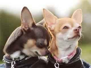 Как выглядит собака чихуахуа: характеристика внешности и поведения породы