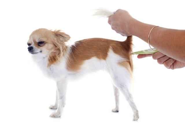 Какая температура считается нормальной у мелких, средних и крупных пород собак