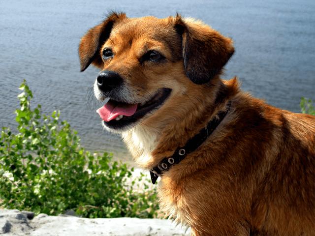 Какой может быть продолжительность жизни собак дворняг в домашних условиях