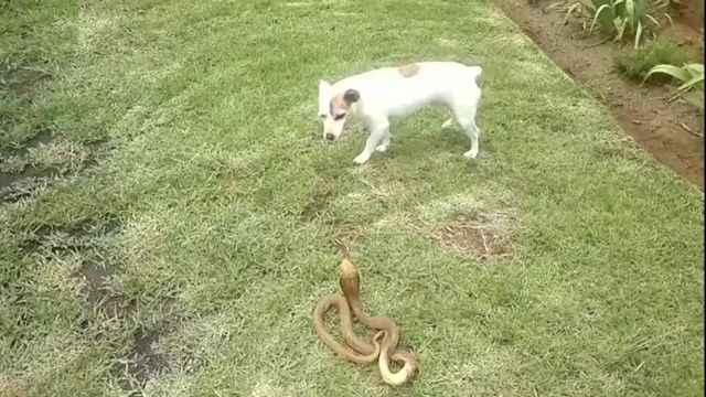 Действия хозяина при укусе собаки змеей: опасность ужей и гадюк для питомцев