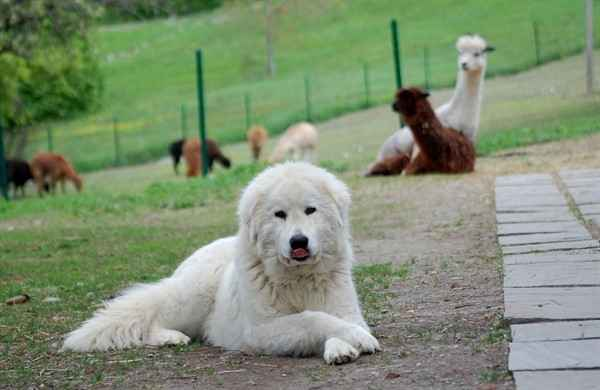 Характеристика итальянских маремма абруццких овчарок: самое интересное