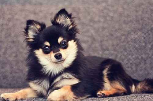 Как выглядят метисы шпицев и чихуахуа: характеристика собак гибридов