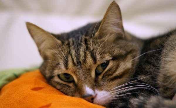 Описание гепатита у кошки: симптоматика и способы лечения заболевания