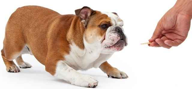 Особенности английских бульдогов: внешность и характер породы собак