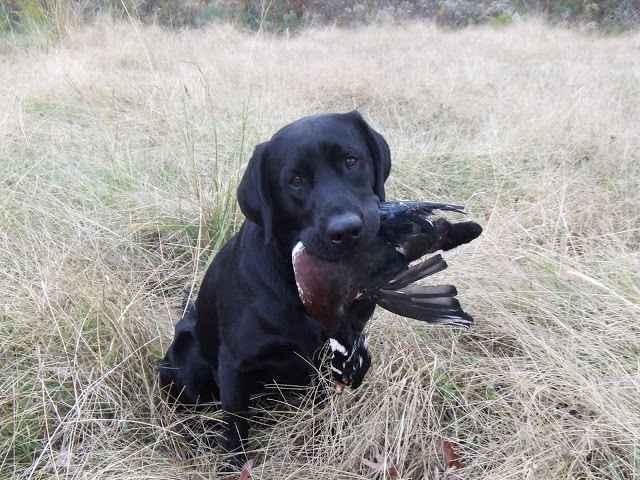 Обзор всех пород охотничьих собак: описание маленьких и больших видов