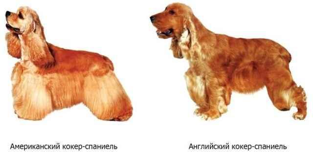 Интересно об английских спрингер спаниелях: внешность, отличия от русского