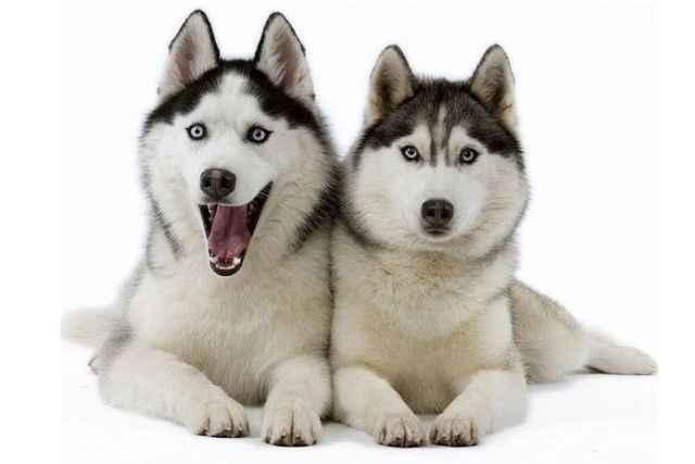 Сколько весит щенок и взрослый йорк: до какого возраста набирают в росте и массе