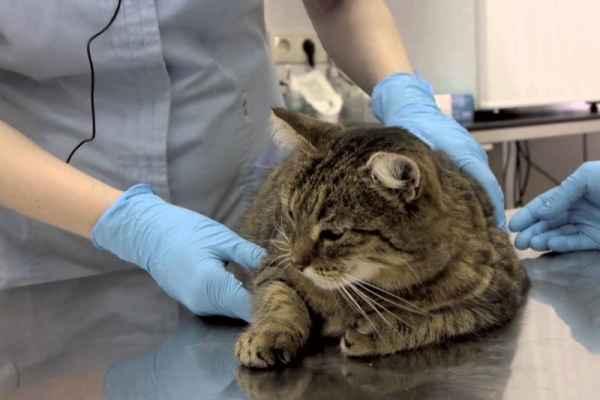 Обзор официальной инструкции о применении препарата Веракол для кошки