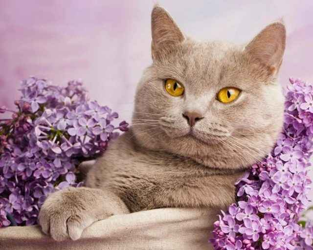 Кастрация и стерилизация британских кошек и котов: с какого возраста