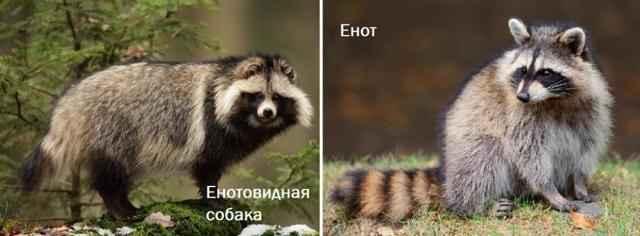 Чем отличаются друг от друга енотовидные собаки и обычные еноты: сравнение
