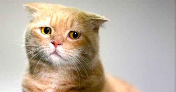 Описание симптомов отита кошки: эффективные методы лечения в домашних условиях