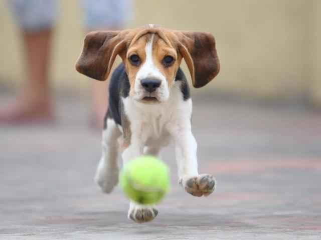 Описание собак мини биглей: особенности американского и французского вида
