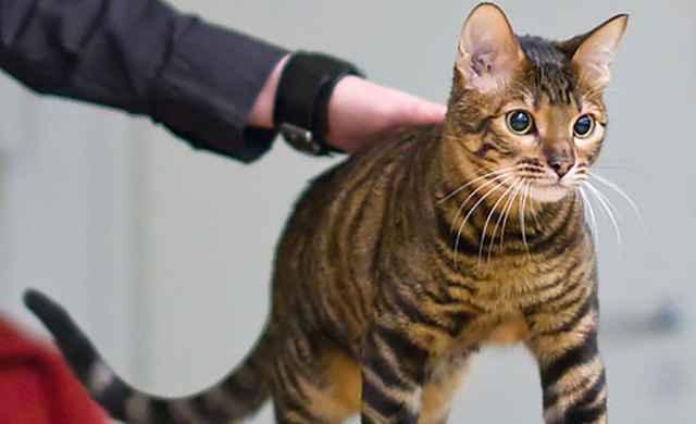 Кошки тигрового окраса: примеры названий пород и уход за питомцем