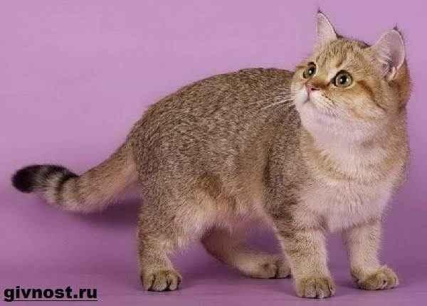 Кошки золотые шиншиллы: описание породы, характер, особенности ухода, история