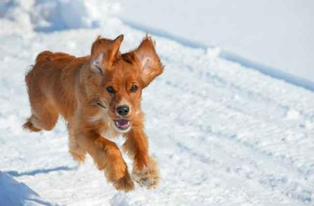 Как правильно содержать кокер-спаниеля дома: правила ухода за собакой