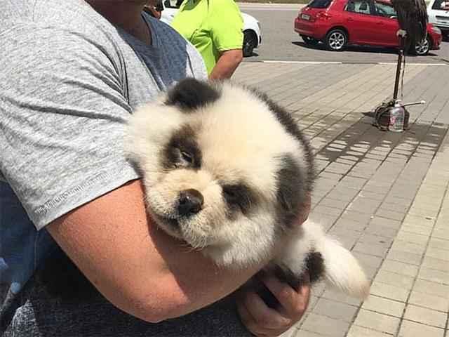 Как выглядят собаки породы чау-чау панда: подробное описание вида