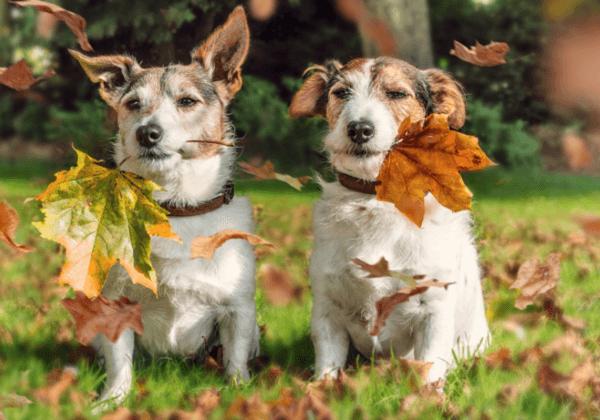Начало и длительность течки у джек-рассел-терьеров: когда и как вязать собак