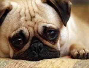 Как определить что у собаки течка и понять что она уже закончилась