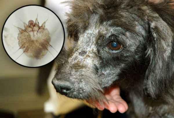 Как выглядят подкожные клещи у собак и что они собой представляют