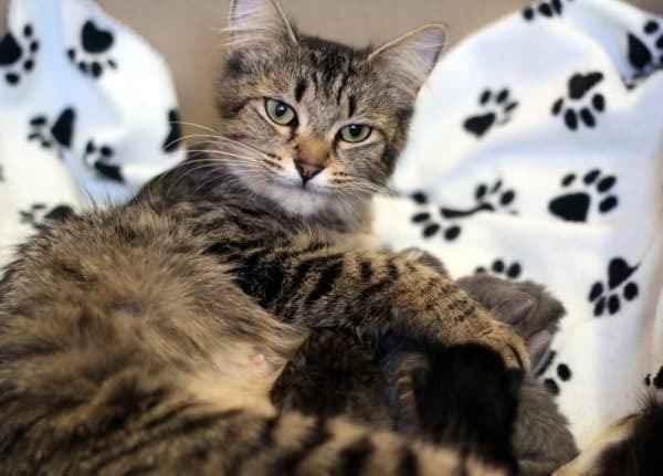 Как правильно самостоятельно принять у кошки роды дома без ветеринара