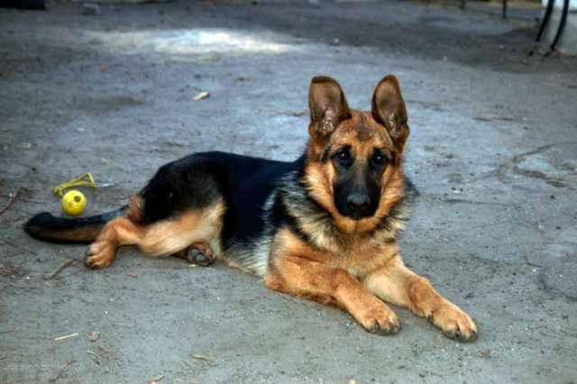 Особенности первой течки у собак немецких овчарок и ее длительность