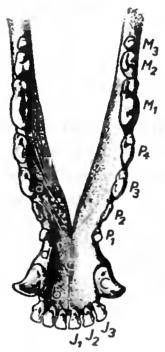 Подробное описание зубной формулы собаки: схема и строение челюстей