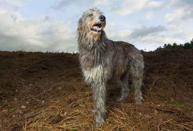 Как называют породы больших собак: обзор разновидностей крупного размера