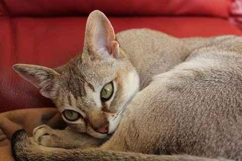 Все что необходимо знать о сингапурских кошках: внешний вид, характер, уход