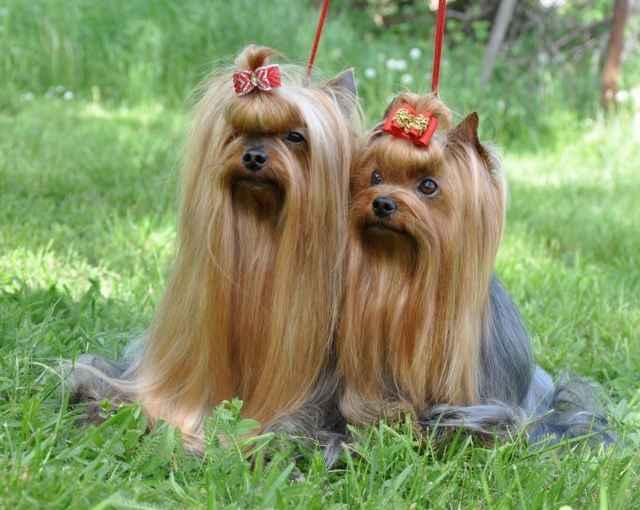 Какие существуют породы декоративных собак: обзор комнатных видов