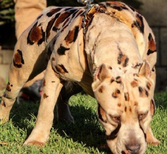 Характеристика албанских питбулей: внешний вид с мраморным окрасом шерсти