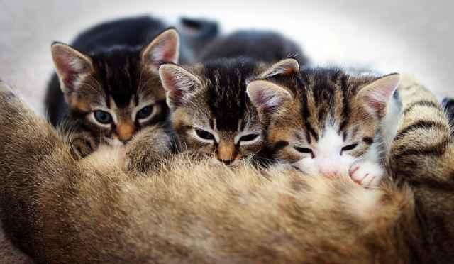 Почему лысеют коты: причины выпадения шерсти, появления проплешин и алопеции