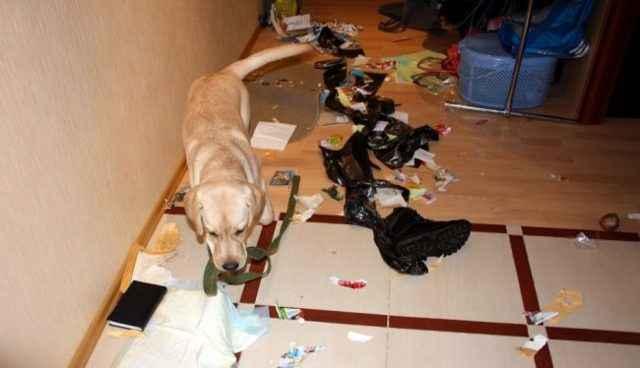 Какую породу собак лучшке заводить в квартире для начинающего или ребенка