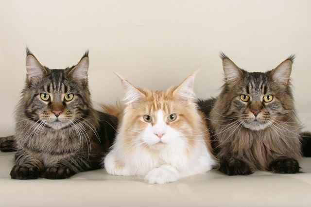 Когда котенку делать первую прививку: какие и в каком возрасте нужно давать