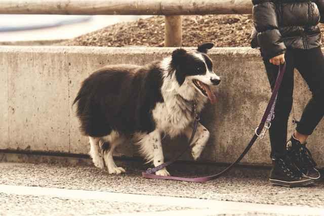 Какие штрафы грозят хозяину за выгул собаки без намордника по КоАП