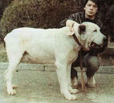 Интересное о собаке алабай по кличке Бульдозер, самой крупной САО в мире