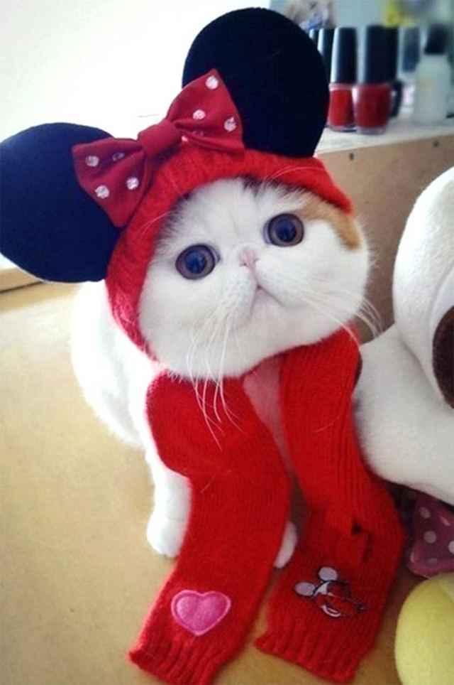Подробное описание японской породы кошек Снупи экзот: внешний вид и характер