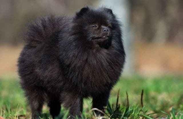 Описание породы мини померанских шпицев медвежьего типа: особенности