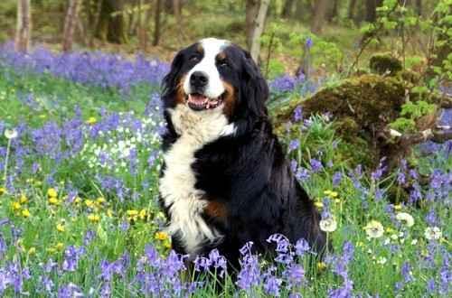 Подробная характеристика бернских зенненхундов: характер собак этой породы