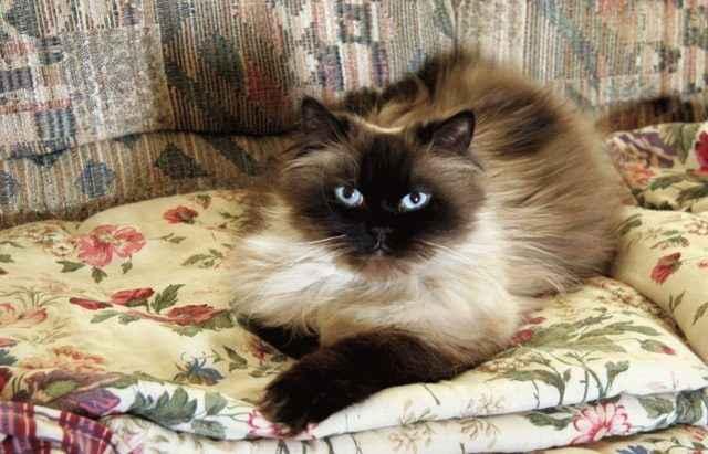 Кошки гималайские: описание породы, характер, особенности ухода, история