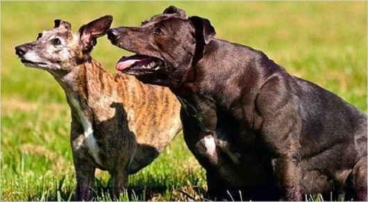 Обзор самых накачанных собак в мире с большими мышцами: топ мускулистых псов